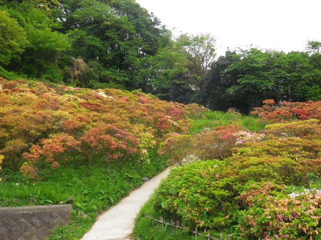 02) 16.04.27 葉山「花の木公園」のツツジを観に行った!・・・ ・・・ ・・・ ・・・のだけれども、遥か前に咲き終わって ' 花殻の絨毯 ' ?だった。 アワワワワ 嗚呼