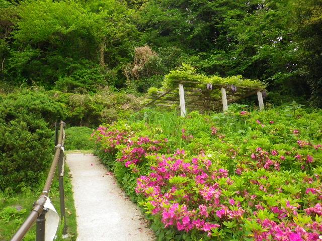 06) 16.04.27 葉山「花の木公園」のツツジを観に行った!・・・ ・・・ ・・・ ・・・のだけれども、遥か前に咲き終わって ' 花殻の絨毯 ' ?だった。 アワワワワ 嗚呼
