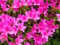 11-2) 16.04.27 葉山「花の木公園」のツツジを観に行った!・・・ ・・・ ・・・ ・・・のだけれども、遥か前に咲き終わって ' 花殻の絨毯 ' ?だった。 アワワワワ 嗚呼