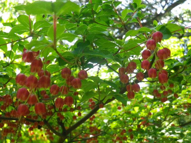 12-2)  _ 16.04.30 晩春の・・・というよりも、立夏直前というべき緑が濃い  鎌倉「安国論寺」。