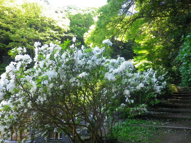 14-1)  _ 16.04.30 晩春の・・・というよりも、立夏直前というべき緑が濃い  鎌倉「安国論寺」。