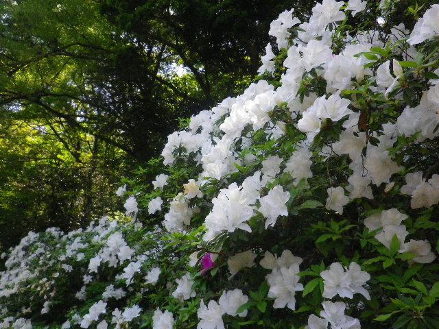14-2)  _ 16.04.30 晩春の・・・というよりも、立夏直前というべき緑が濃い  鎌倉「安国論寺」。