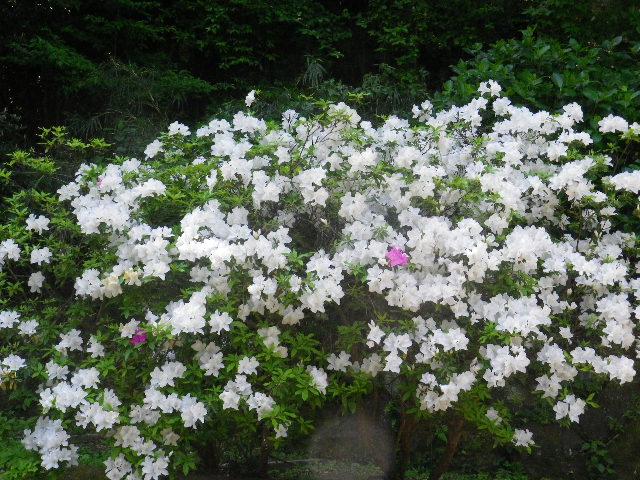 14-3)  _ 16.04.30 晩春の・・・というよりも、立夏直前というべき緑が濃い  鎌倉「安国論寺」。
