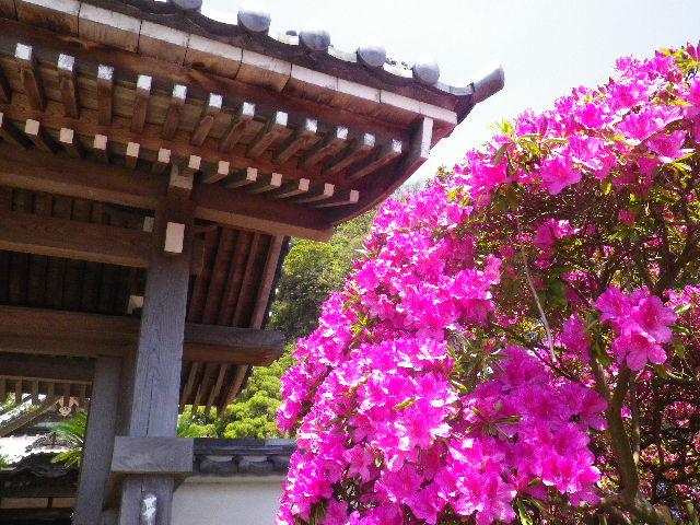 02)   _ 16.04.30 鎌倉「安養院」桃色に染まる頃
