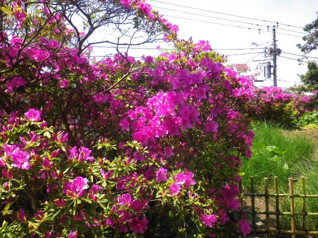 04)   _ 16.04.30 鎌倉「安養院」桃色に染まる頃