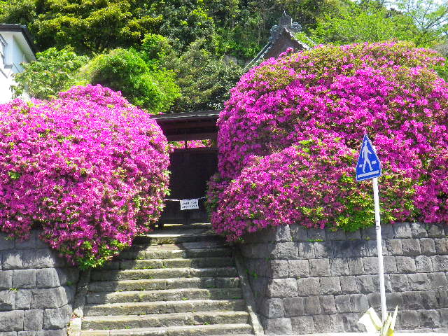 07)   _ 16.04.30 鎌倉「安養院」桃色に染まる頃