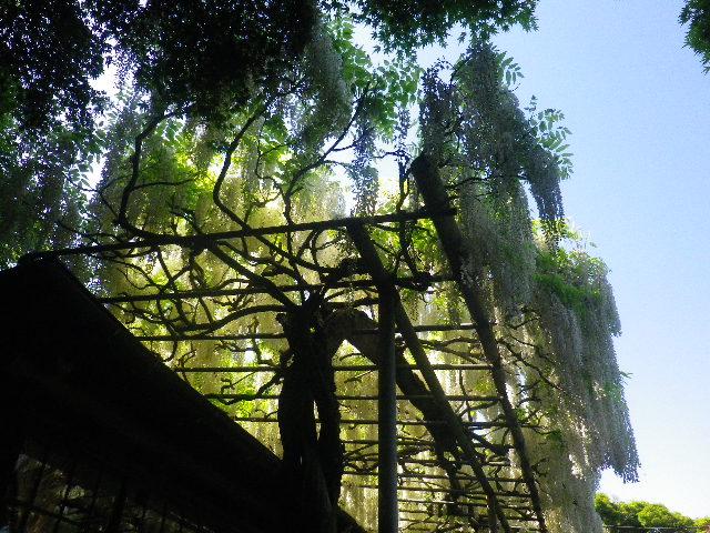 1-03) _ 16.05.05 白藤に蜜蜂が集う時期の、鎌倉「英勝寺」。