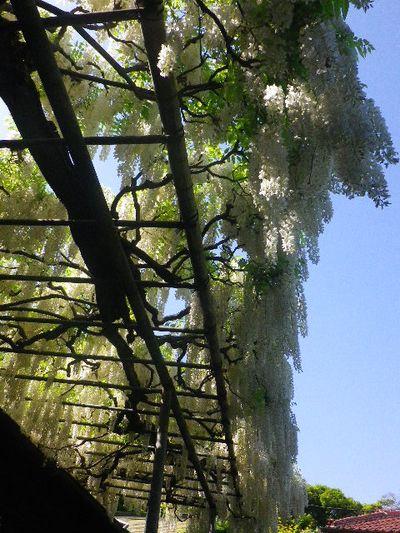 1-04) _ 16.05.05 白藤に蜜蜂が集う時期の、鎌倉「英勝寺」。