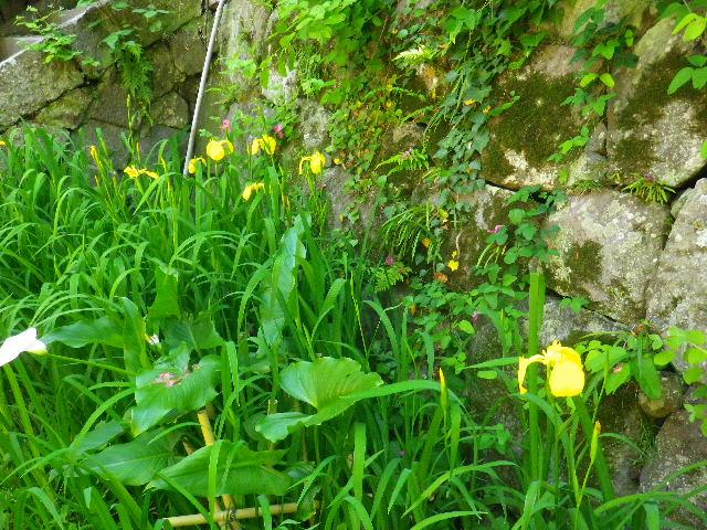 02-1) _ 16.05.05 白藤に蜜蜂が集う時期の、鎌倉「英勝寺」。