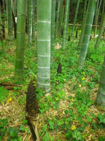 03-3) _ 16.05.05 白藤に蜜蜂が集う時期の、鎌倉「英勝寺」。
