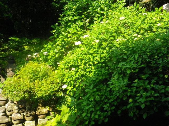 03-1) 16.05.21 鎌倉「光明寺」石庭にサツキが色を添える頃