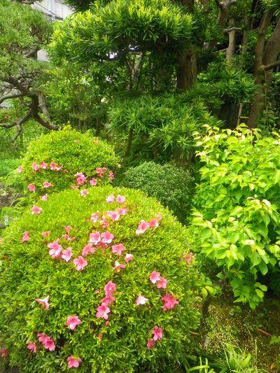 08)    _ 16.05.28 鎌倉「大巧寺」ヤマアジサイ/ガクアジサイが咲く頃