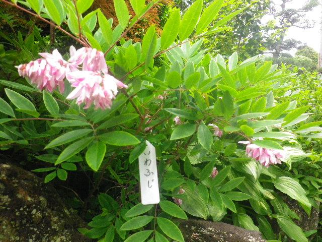 15)   いわふじ  _ 16.05.28 鎌倉「大巧寺」ヤマアジサイ/ガクアジサイが咲く頃