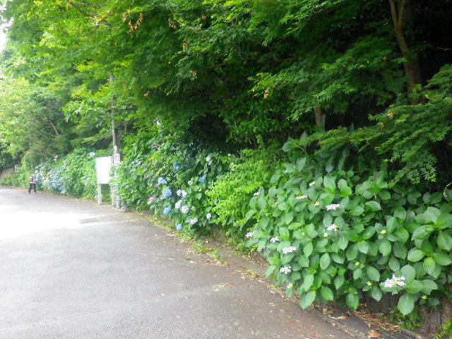 01-1) 以下、テキトーに撮った順に貼り付けた。 _ 16.06.04 鎌倉 ' 宝戒寺橋 '~' 紅葉山やぐら ' 周辺の紫陽花