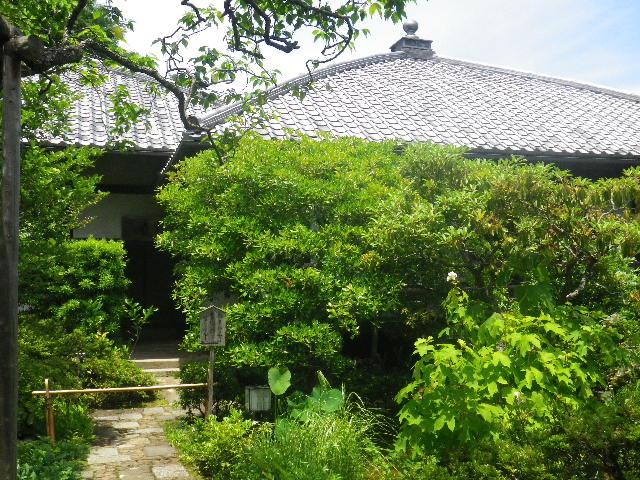 06) 今日は、法事が営まれていた。_ 16.06.11 鎌倉「東慶寺」崖を覆うイワタバコと崖を匍うイワガラミが咲く頃