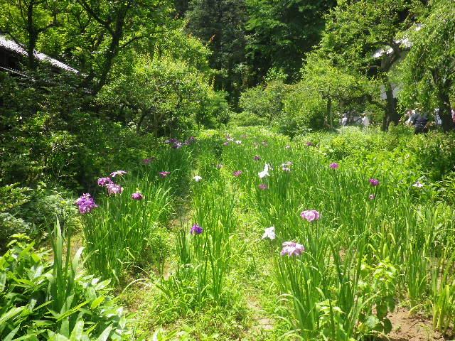 07-1) 花菖蒲園。 盛りは過ぎつつあるのかもしれない。 _ 16.06.11 鎌倉「東慶寺」崖を覆うイワタバコと崖を匍うイワガラミが咲く頃