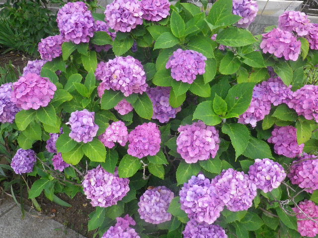 02-2) 山門右手前の紫陽花 _ 16.06.19 蓮が咲き始めた 鎌倉「光明寺」