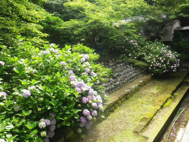 05-1) 大殿左の紫陽花 _ 16.06.19 蓮が咲き始めた 鎌倉「光明寺」