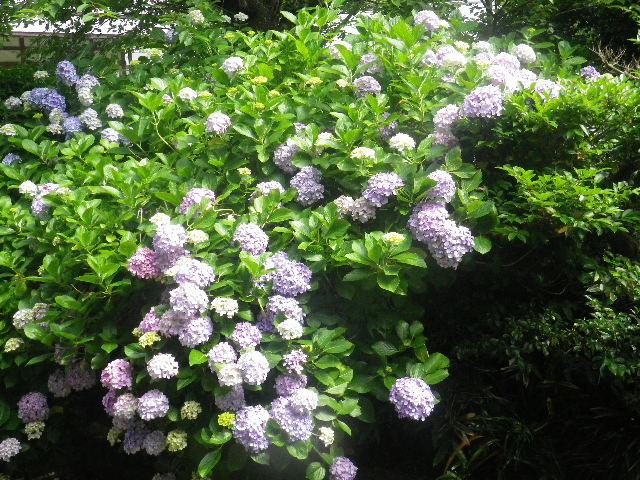 05-2) 大殿左の紫陽花 05)手前 _ 16.06.19 蓮が咲き始めた 鎌倉「光明寺」