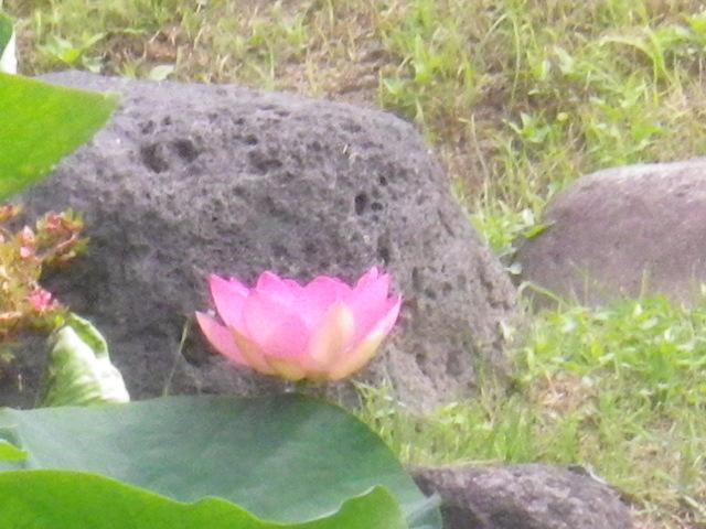 09-2)古代蓮(大賀蓮)・・・だと思う _ 16.06.19 蓮が咲き始めた 鎌倉「光明寺」