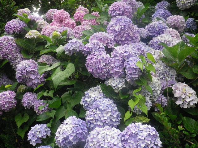 C02-2) _ 16.06.19  紫陽花が咲く 「鎌倉海浜公園稲村ガ崎地区」 の朝