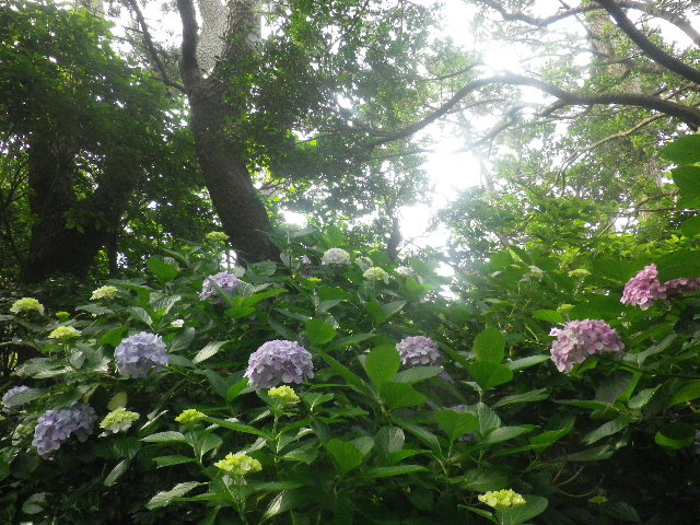 C04) _ 16.06.19  紫陽花が咲く 「鎌倉海浜公園稲村ガ崎地区」 の朝