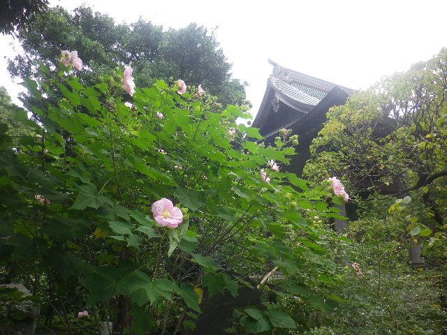 09) _ 16.09.29 鎌倉「宝戒寺」 ' 萩の寺 ' とも呼ばれるが、今年の花は台風に甚振られた。