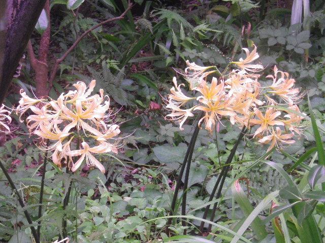 11)黄色い彼岸花 _ 16.09.29 鎌倉「宝戒寺」 ' 萩の寺 ' とも呼ばれるが、今年の花は台風に甚振られた。
