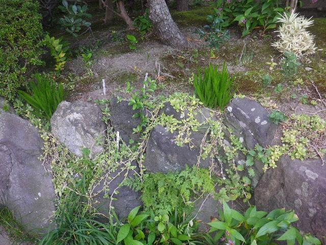 08) 何度も撮っているし、咲いていないから名札を撮らず。 _ 16.11.05 鎌倉「大巧寺」 立冬直前の境内