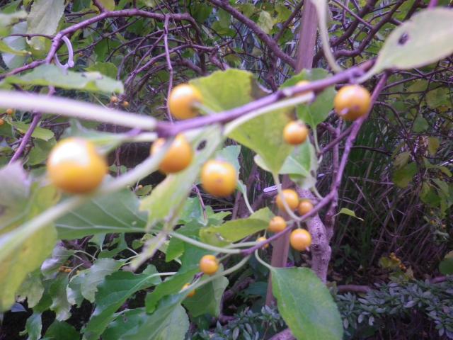 01-3)    ' ツルウメモドキ '  16.11.17 この植物は「ツルウメモドキ」と知ったことだけの日記 _ 鎌倉「大巧寺」