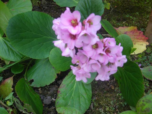 02-2) ' ヒマラヤユキノシタ '   16.11.17 この植物は「ツルウメモドキ」と知ったことだけの日記 _ 鎌倉「大巧寺」