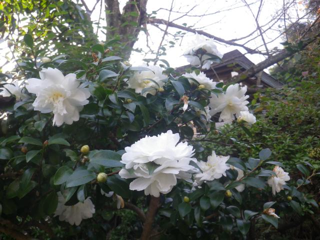3-03)  16.11.30 初冬の 鎌倉「長勝寺」