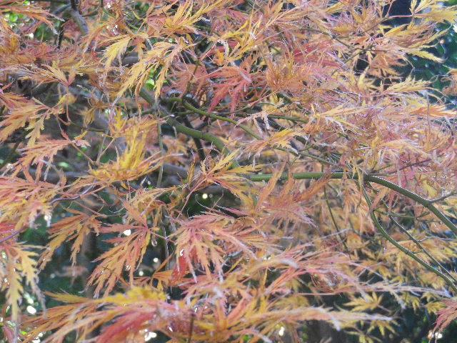 05-2)   16.12.02 鎌倉「大巧寺」 初冬の紅葉と黄葉