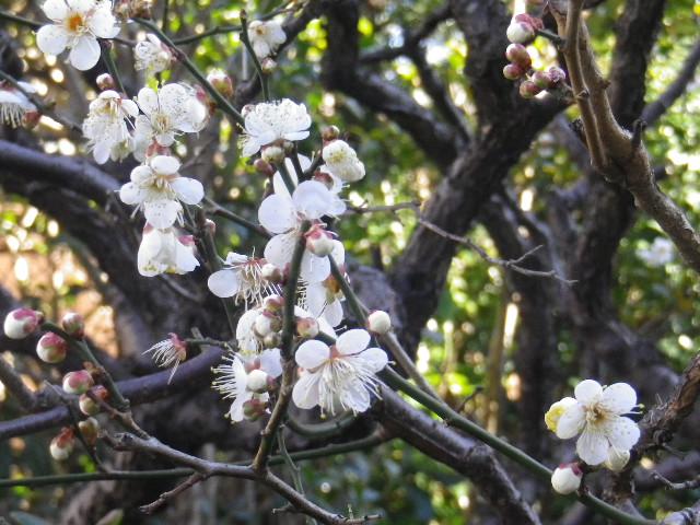 02-2)   梅が崎始めた   17.01.13 鎌倉「大巧寺」 初詣