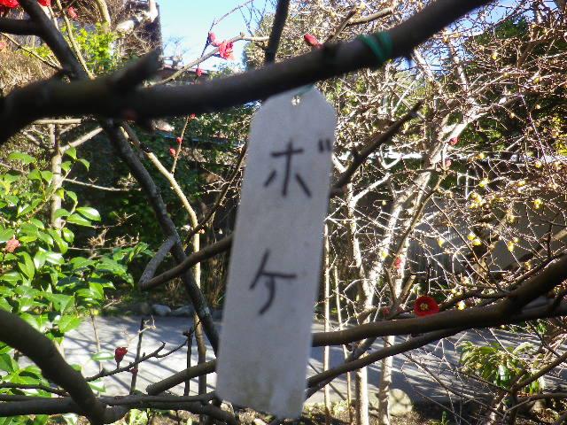 03-2)    ・・・ ・・・ ' ボケ '(木瓜/ぼけ)だった。  17.01.13 鎌倉「大巧寺」 初詣