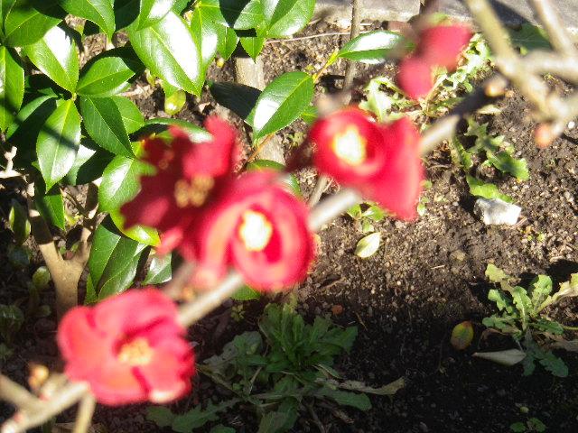 03-3)    どうやら他のページで「木瓜」を、' 紅梅 ' との誤認誤記が多そうであることが発覚。 17.01.13 鎌倉「大巧寺」 初詣