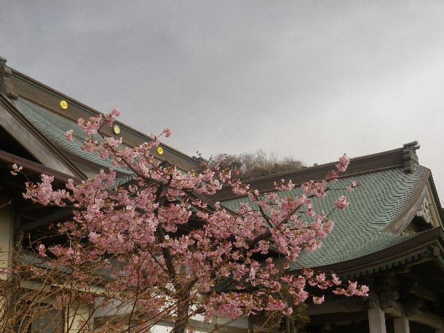 01-1)    開山堂を背景に、寺務所前の河津桜。 17.02.11 鎌倉「光明寺」 鳥が河津桜の蜜を吸っていた
