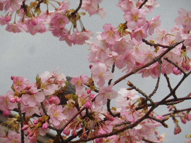 01-2)    開山堂を背景に、寺務所前の河津桜。    17.02.11 鎌倉「光明寺」 鳥が河津桜の蜜を吸っていた