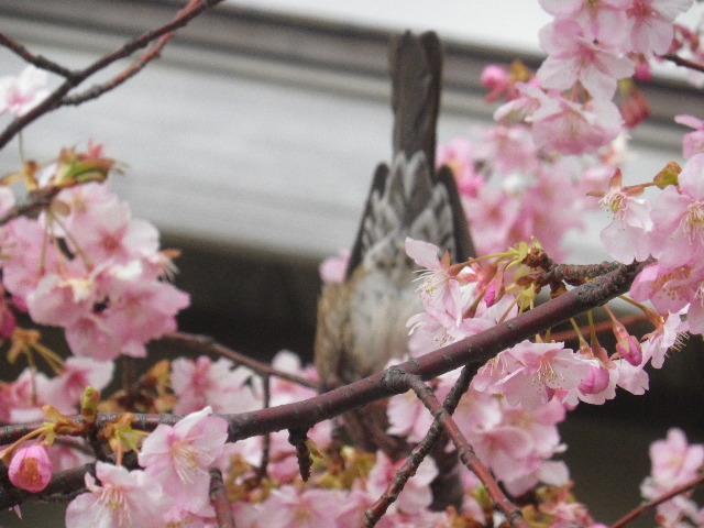 01-3)    開山堂を背景に、寺務所前の河津桜。    17.02.11 鎌倉「光明寺」 鳥が河津桜の蜜を吸っていた