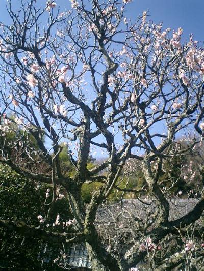 06_18545338742_o 06) 鎌倉扇ガ谷「東光山 英勝寺」 境内の紅梅