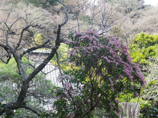 09-2)   17.02.18 鎌倉「光則寺」 梅咲く頃
