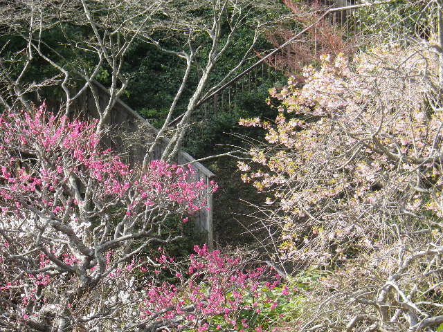 01-2) 17.0218 鎌倉「長谷寺」 梅咲く頃の最盛期を、覗き見した。