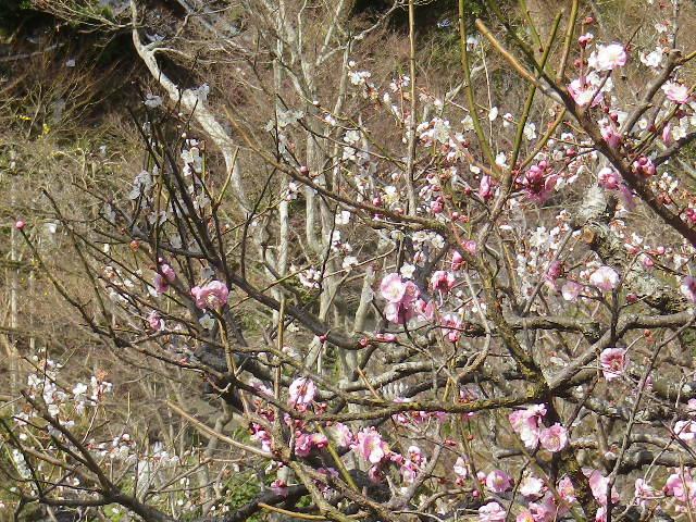03) 17.0218 鎌倉「長谷寺」 梅咲く頃の最盛期を、覗き見した。
