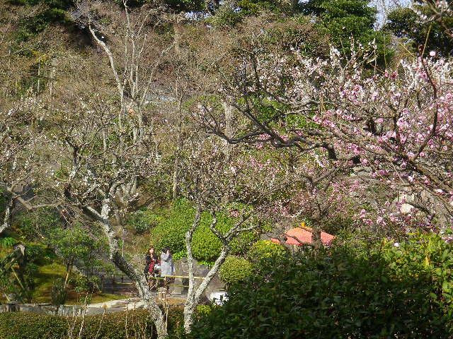05-1) 17.0218 鎌倉「長谷寺」 梅咲く頃の最盛期を、覗き見した。