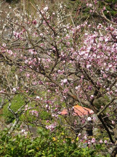 05-2) 17.0218 鎌倉「長谷寺」 梅咲く頃の最盛期を、覗き見した。