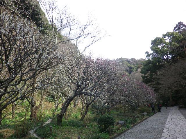 01)    17.02.18 鎌倉「瑞泉寺」  毎年同じような写真だけど、確実に十年前とは違う景観。