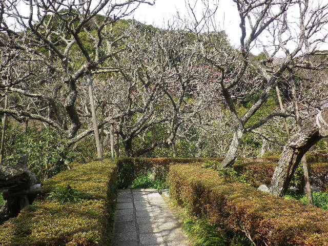 08)    17.02.18 鎌倉「瑞泉寺」  毎年同じような写真だけど、確実に十年前とは違う景観。