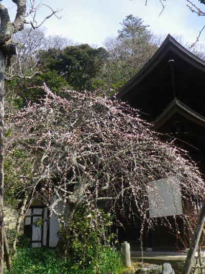 09-1)    17.02.18 鎌倉「瑞泉寺」  毎年同じような写真だけど、確実に十年前とは違う景観。