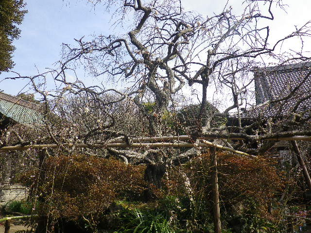04-2)    17.02.18 鎌倉「宝戎寺」 休養期間と信じ、枝垂れ梅老大木の復活を願う。
