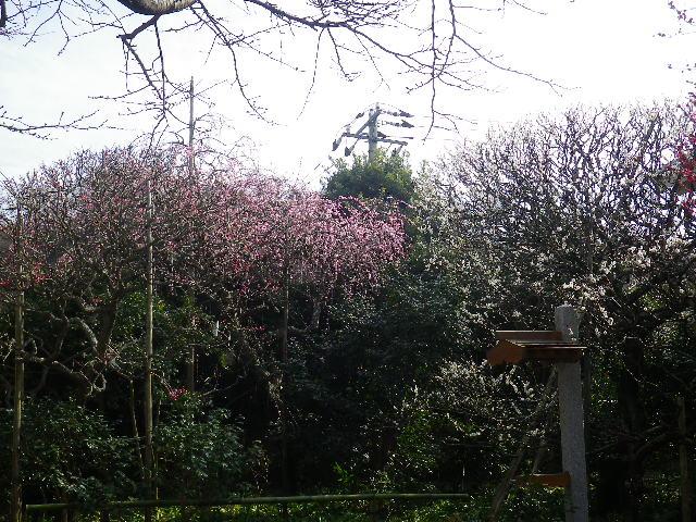 05-1)    17.02.18 鎌倉「宝戎寺」 休養期間と信じ、枝垂れ梅老大木の復活を願う。